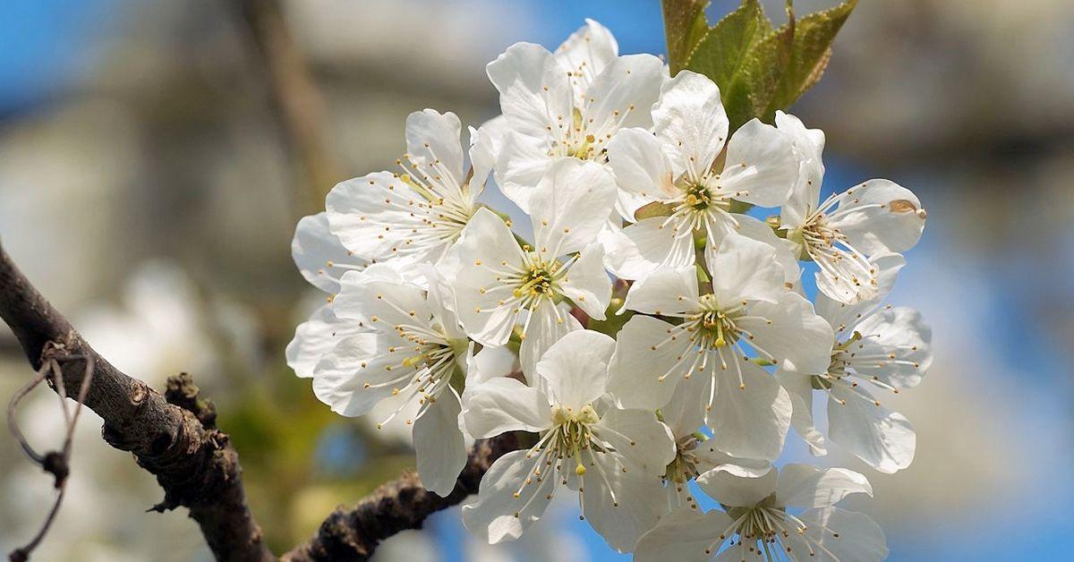 Kirschblütenzauber Mösbach