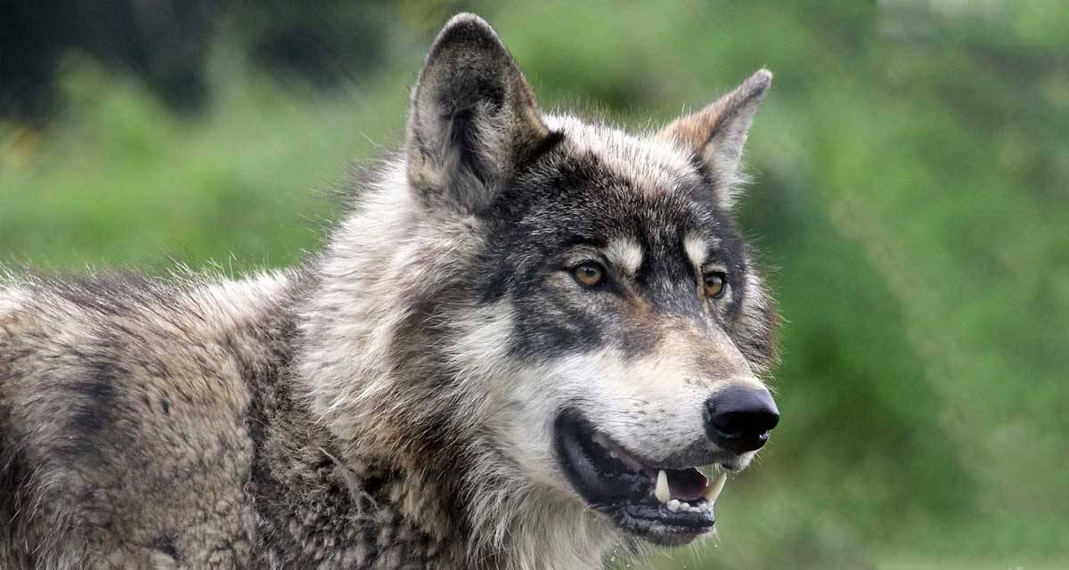 Schwarzwaldverein hat den Wolf im Visier