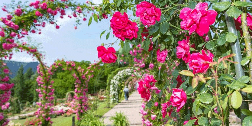 Baden-Baden: heimliche Rosenhauptstadt Deutschlands