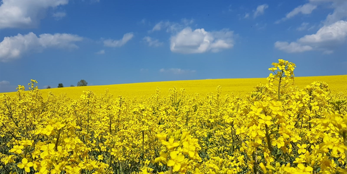 Rapsblüte – das goldene Frühlingskleid des Schwarzwalds